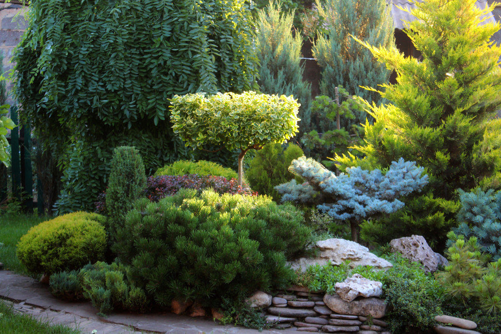 низкорослые хвойники в саду