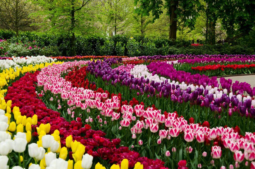моносад - сад одного цветка