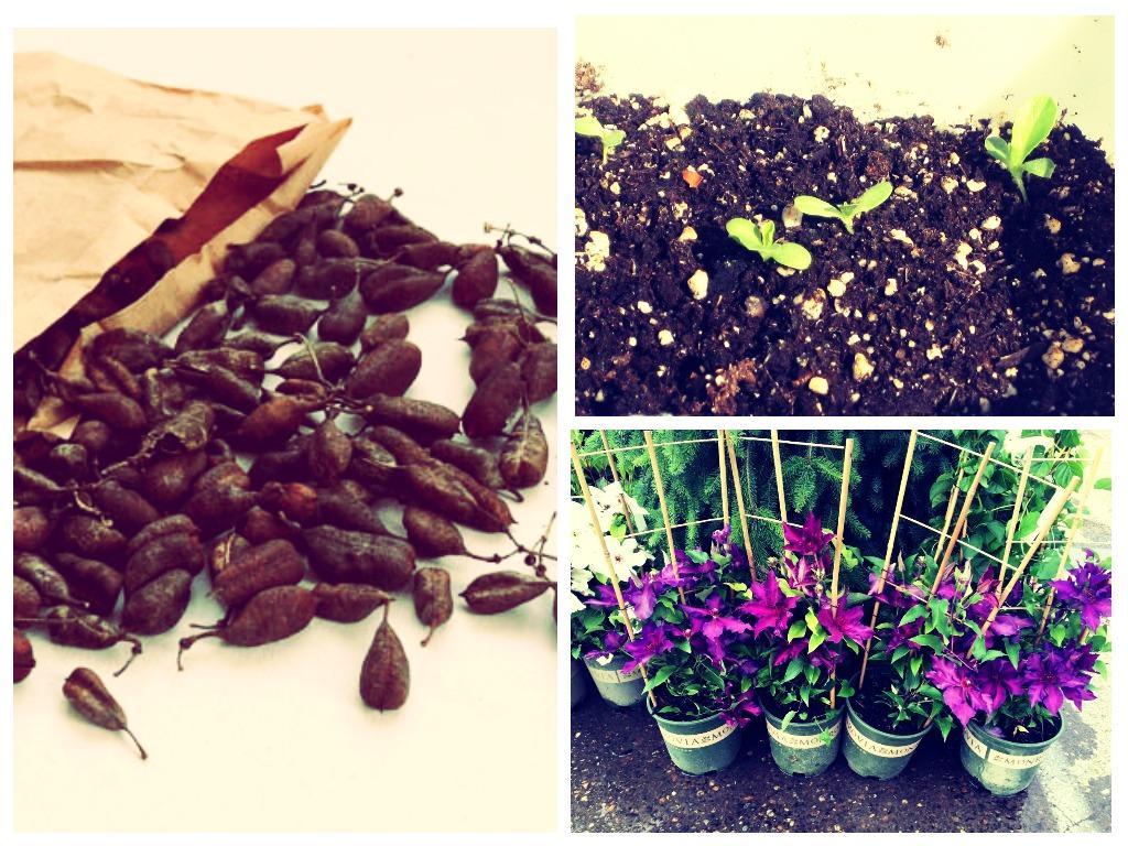 выращивание клематиса из семян