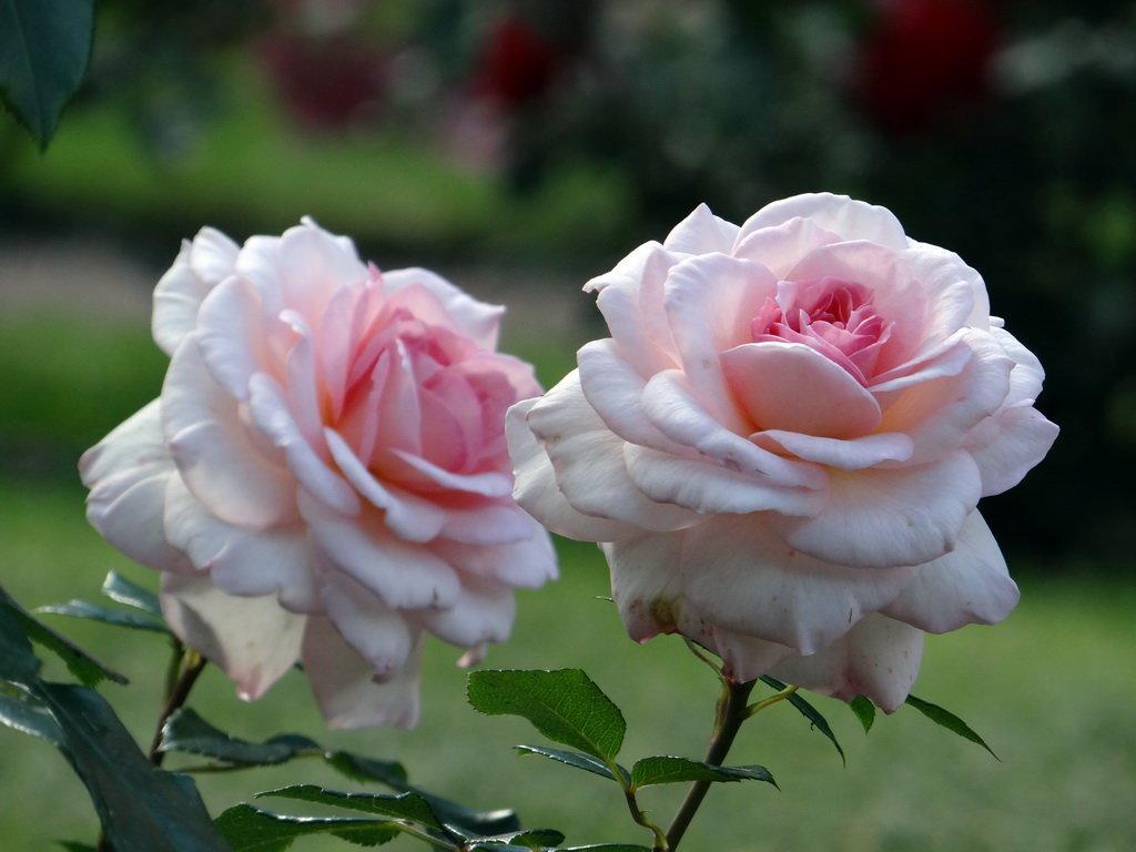 Рабатковая роза Герцогиня