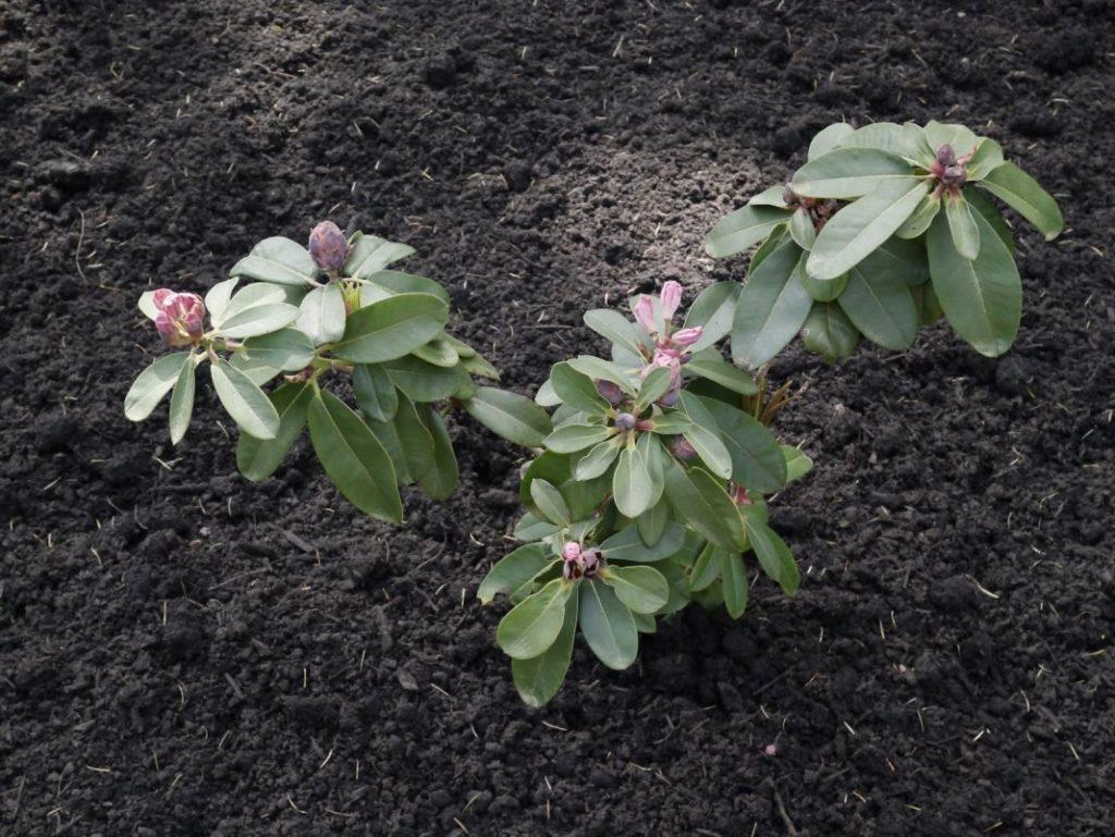 выращивание рододендрона на дачном участке