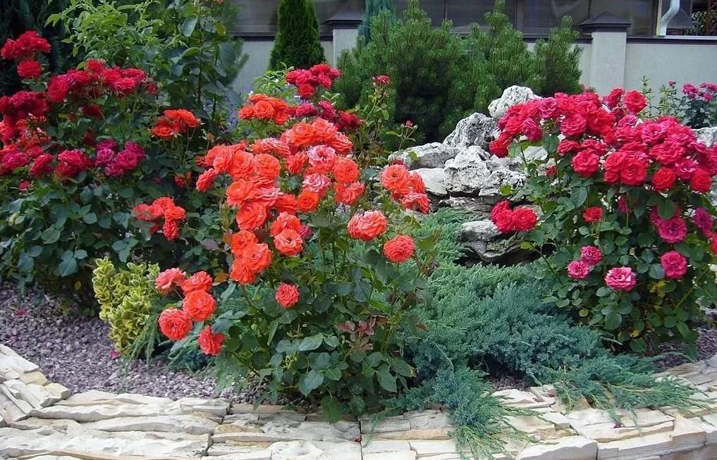 Розы с хвойными