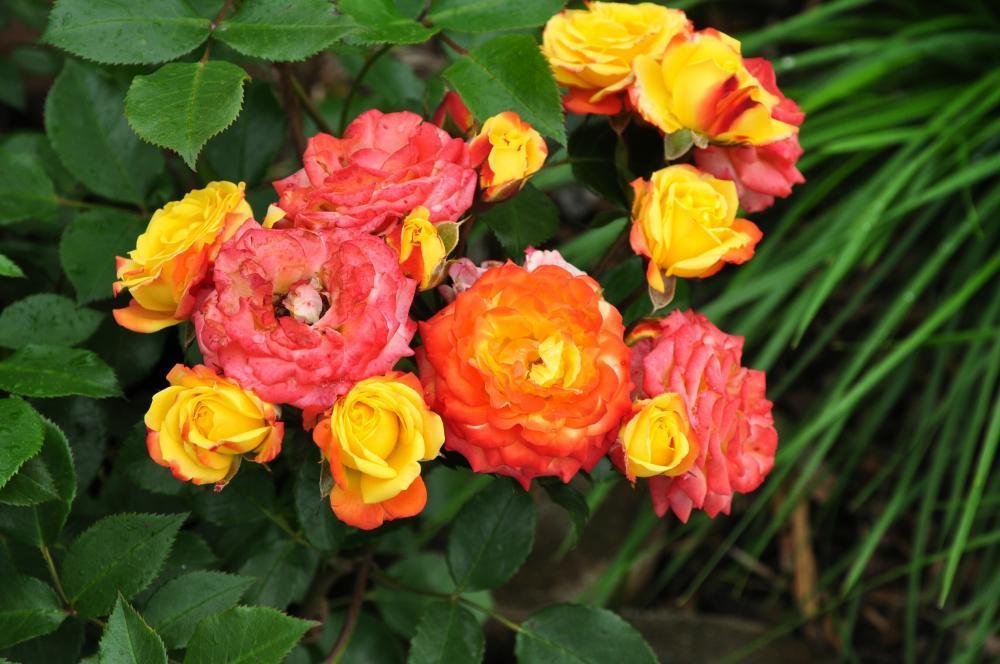 клумбовая роза Румба
