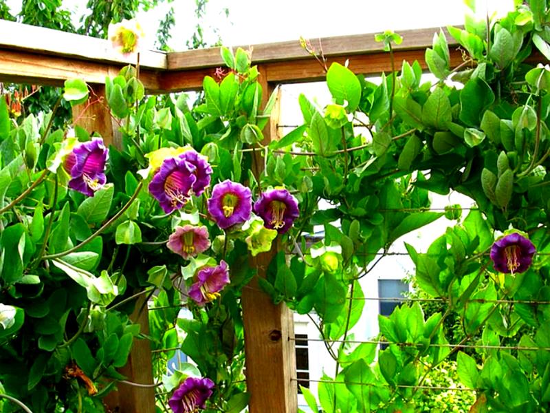 использование кобеи для вертикального озеленения
