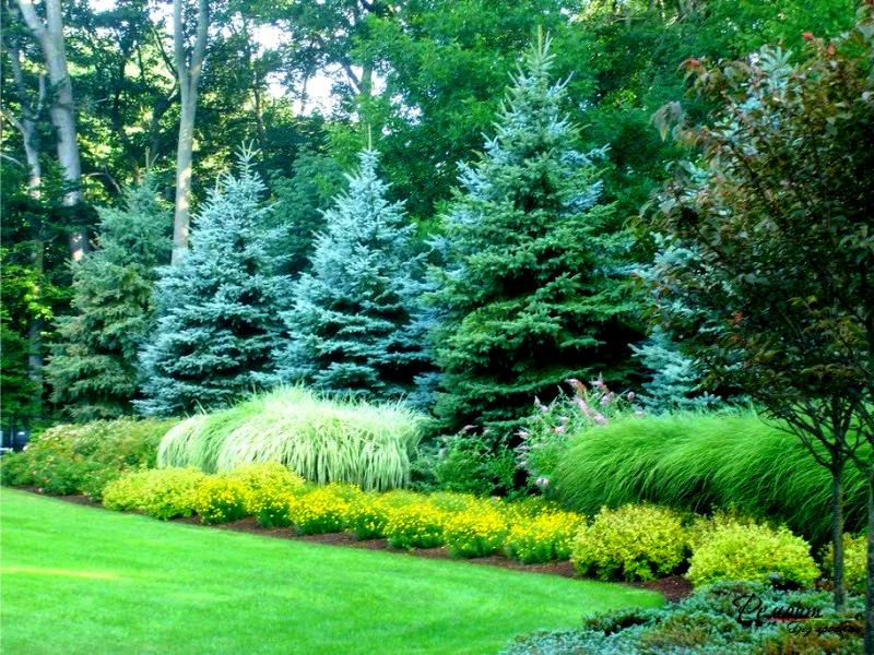 Высокие хвойные деревья в саду