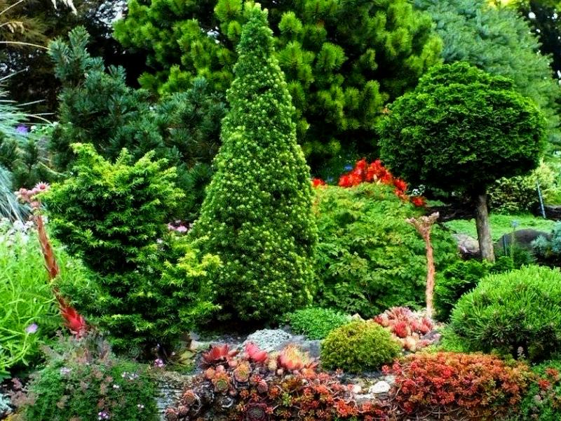 хвойные растения в ландшафте фото