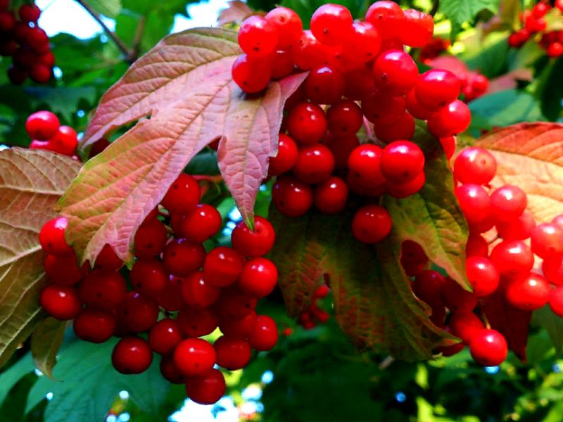 плодовые холодостойкие кустарники - Калина