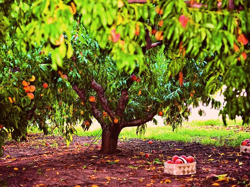 Какие плодовые деревья сажать в саду