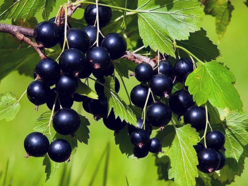 С ароматом черной смородины ничего не сравнится