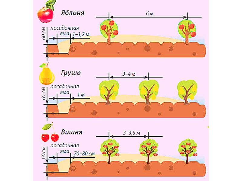 Расстояния между плодовыми деревьями