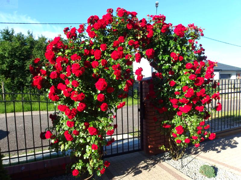 Входная арка увитая плетистыми розами