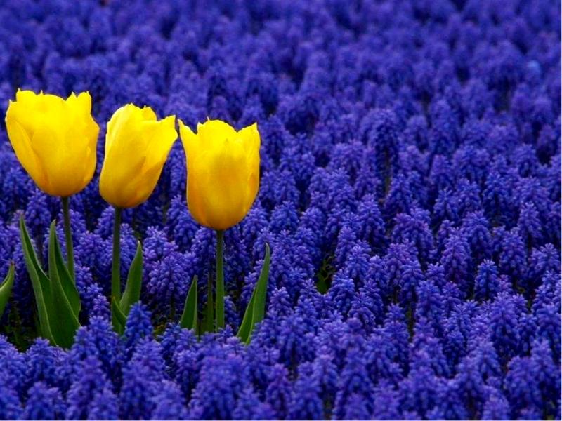 Сочетание желтых тюльпанов и мускарей