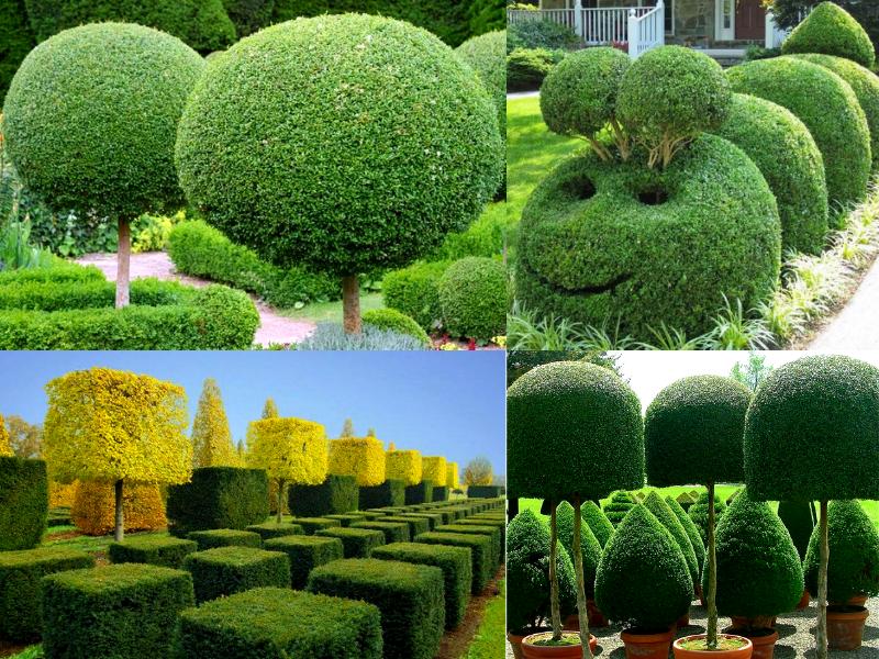 Примеры формирующей стрижки деревьев