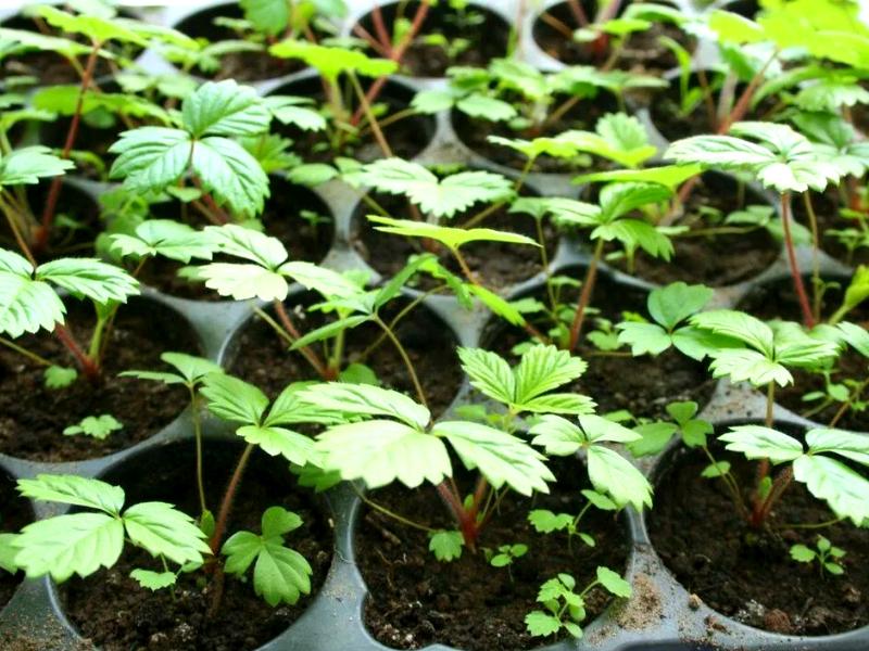 выращивание клубники в домашних условиях - пикировка