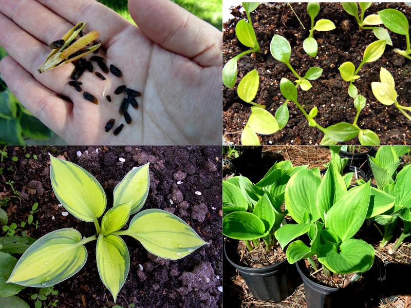 выращивание хосты из семян